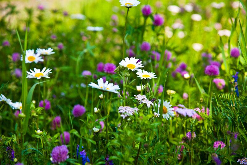 Цветы картинки клевер 3