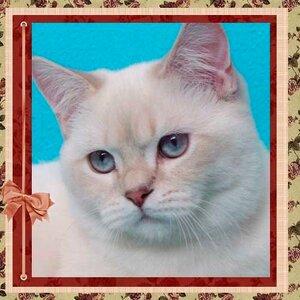 Tartinka b. Softcat (BRI сs 21 33) британская короткошерстная кошка окраса лилак сильвер линкс поинт