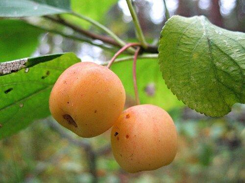 Лесные яблочки