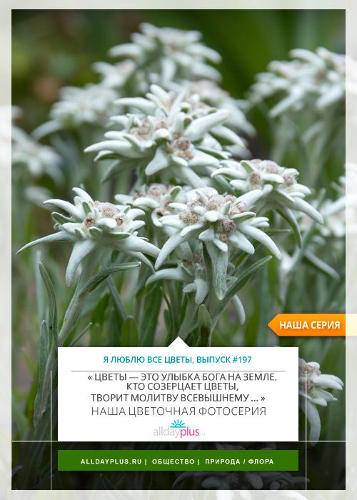 Я люблю все цветы, выпуск 197 | Эдельвейс альпийский - «символ мужества и отваги, цветок любви и верности».