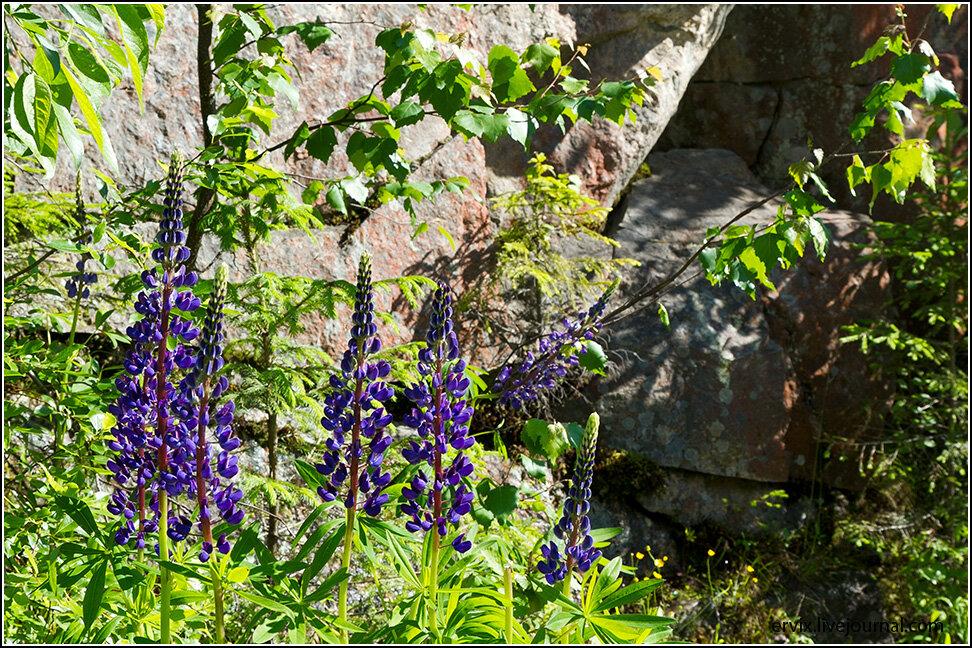 Карельские цветы