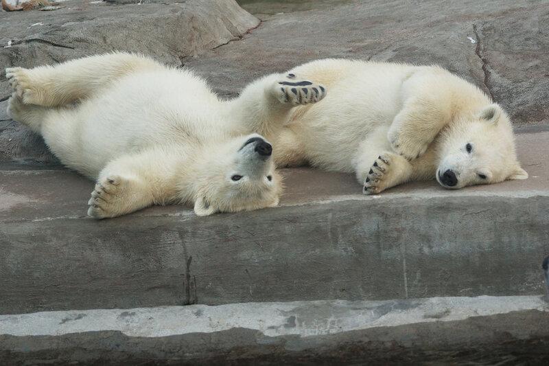 белые медвежата7.jpg