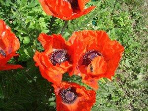 Весна-лето,с.Остров,подворье,райский садик,цветы