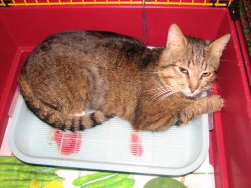 правильное питание кота британца кастрированного