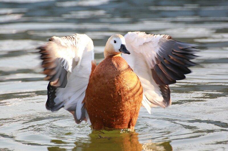 Огарь (красная утка, Tadorna ferruginea) - утка рыжего (оранжево-коричневого) окраса с более светлой головой и почти гусиным профилем расправил крылья