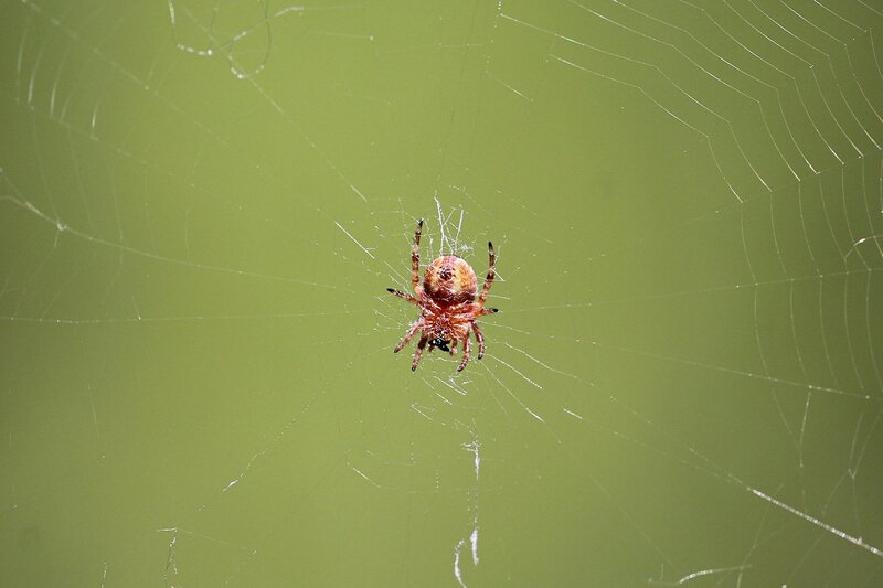 паук-крестовик в центре паутины. Вид с брюшка