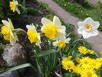 Нарцисс разрезнокорончатый Mondragon