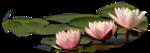 lotus-rose.png