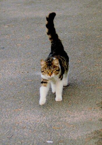 Кот-  воин