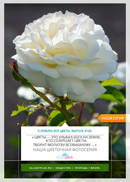 Я люблю все цветы, выпуск 180 | Роза - «Королева цветов».