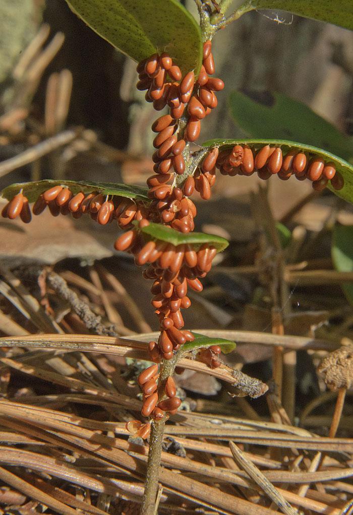Leocarpus fragilis DSC_3397.jpg