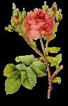 Редчайшей красоты.  И все забыв, над миром мы взмываем.  Там было много ярких роз. и розы лепестки.