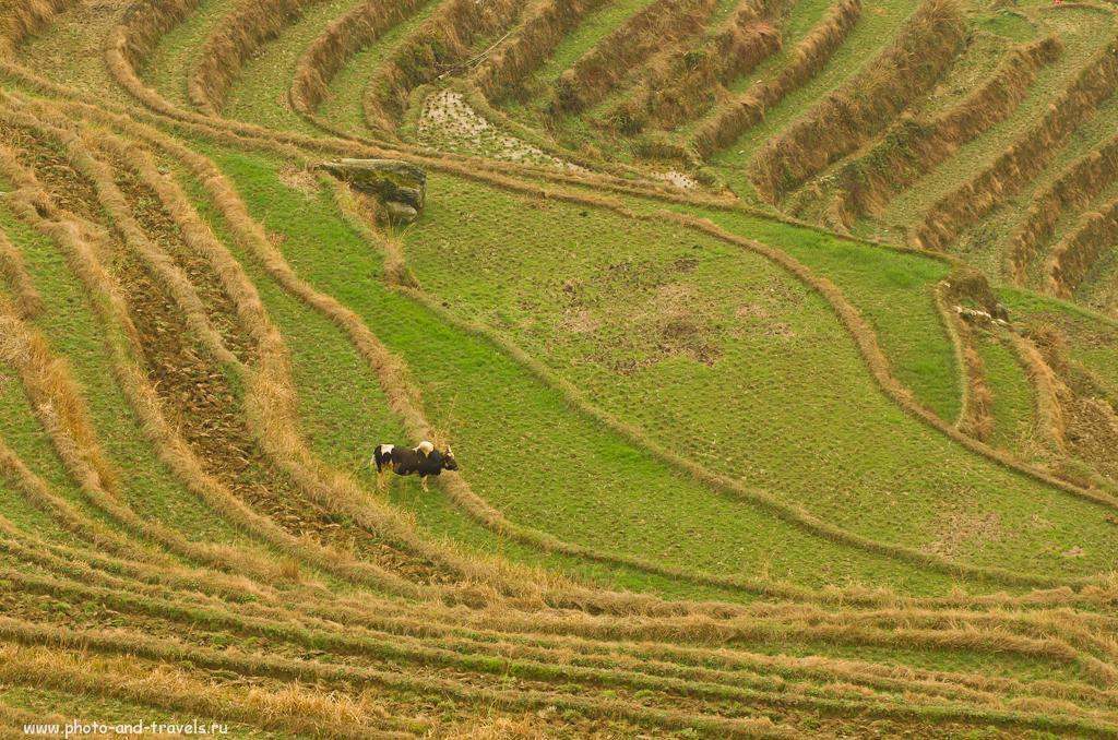 Фото 6. Отдых в Китае. На лугу, на лугу, на рисовых террасах Лонгшень пасутся ко...