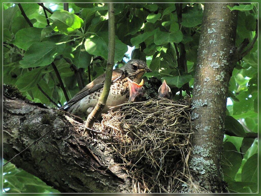 Гнездо дрозда