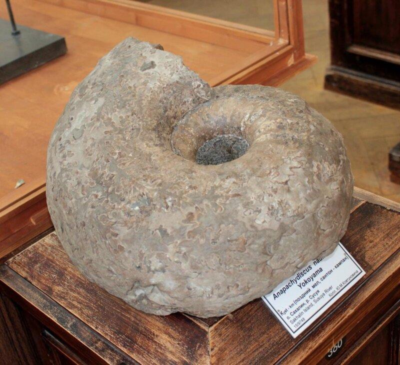 Anapachydiscus nautilus Yokoyama (Поздний мел, сантон - кампан)