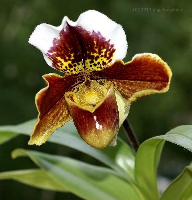 Венерин башмачок гибридный