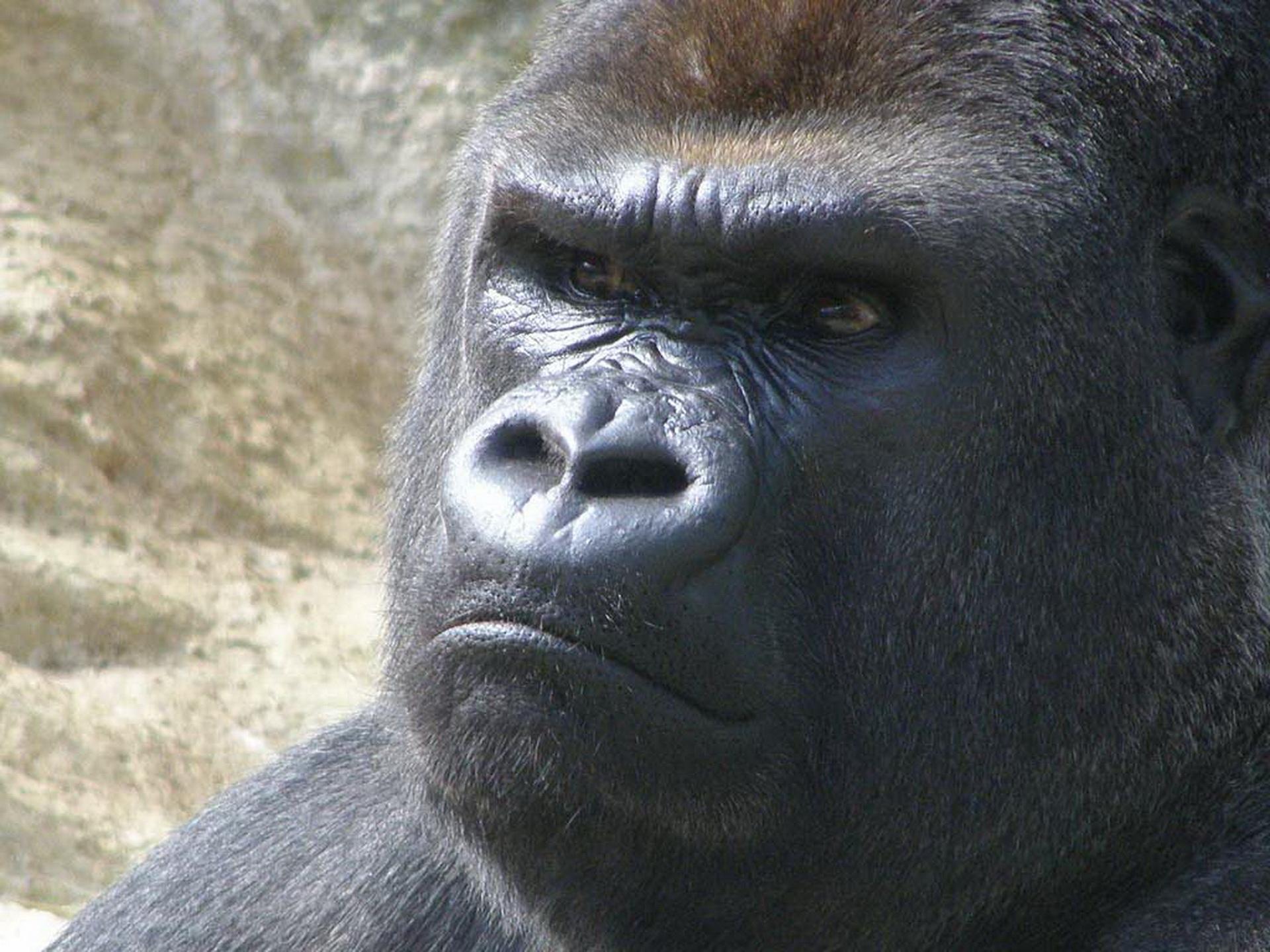 Зла горила