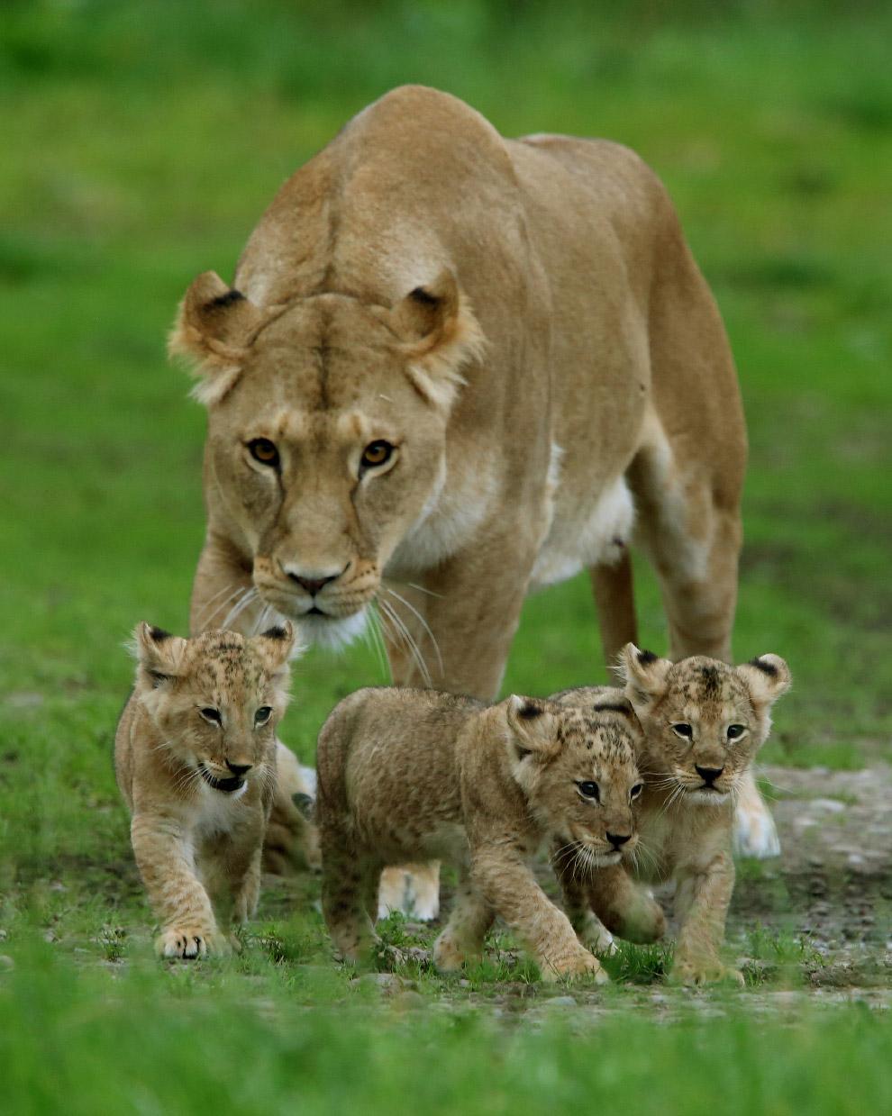 6. Львы относятся к уязвимым видам вследствие необратимого сокращения численности их популяции.