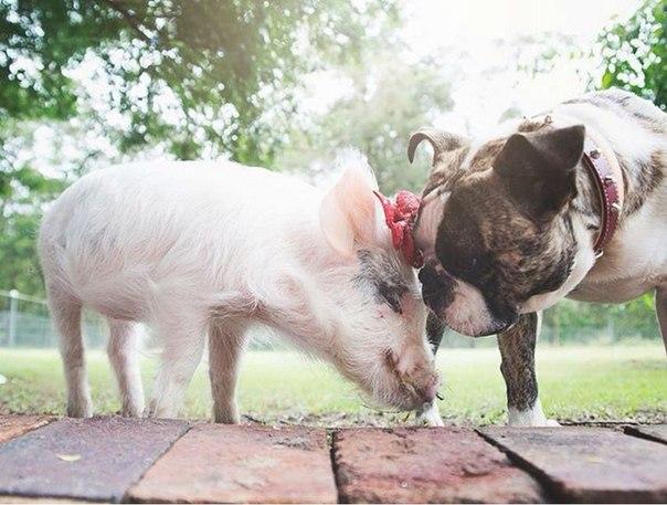 Очаровательная свинка Олива, которая думает, что она собака