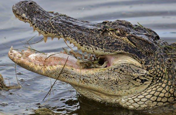 23. 3 место – Миссисипский аллигатор, PSI: 2125 Этот хищник считается одним из самых злобных и смерт