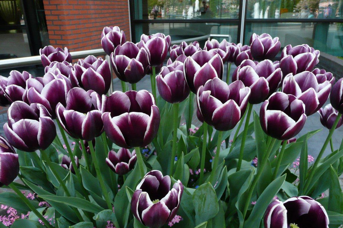 Большие тюльпаны Зурел оптом