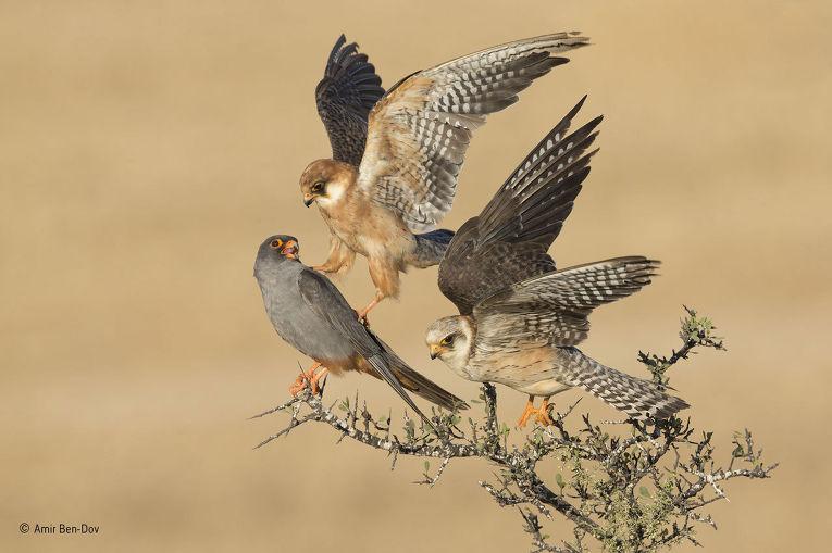 4. Амир Бен-Дов (Израиль), «Трое». Победитель в категории «Птицы». Соколы кобчики — социальные живот