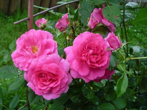 Извечное непонимание и разочарование... Роза - не наш рулевой (( - Страница 2 0_6e919_f3e41a94_-1-L