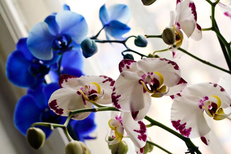 Сколько цветет орхидея в домашних условиях фаленопсис