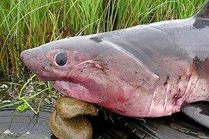 В Приморье в сети рыбаков попались две двухметровые акулы