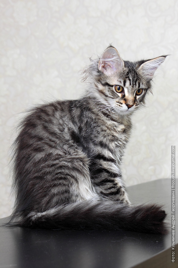 трехмесячный котенок мейн кун