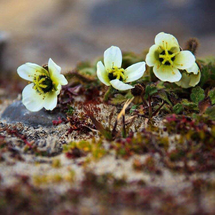 Растения тундра картинки