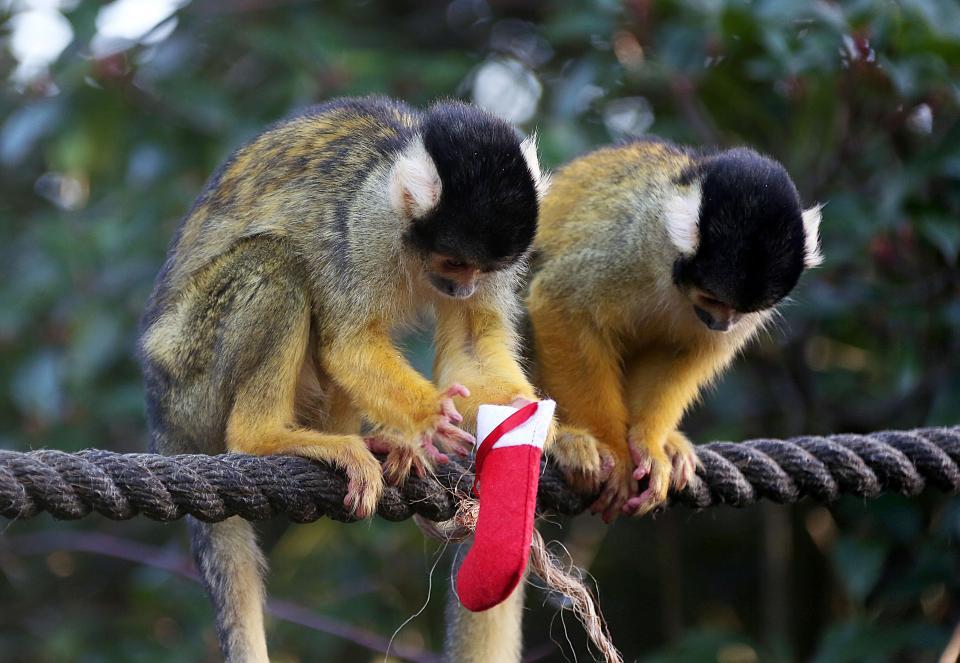 Обитателям лондонского зоопарка вручили рождественские подарки