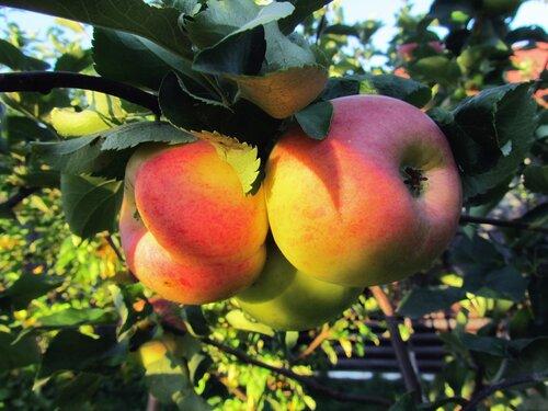 Муркины яблочки