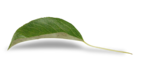 natali_design_apple_leaves16-sh2.png