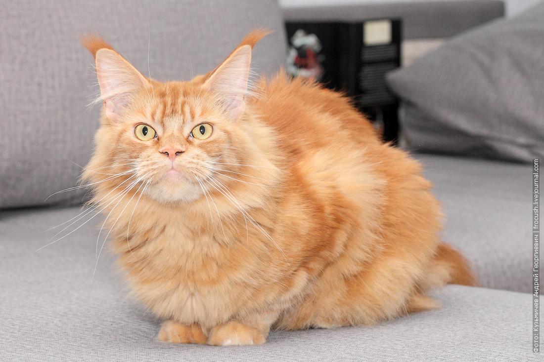 фото красная кошка Мейн-кун