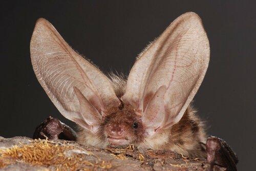 Ученые: уши летучих мышей-их вторые крылья