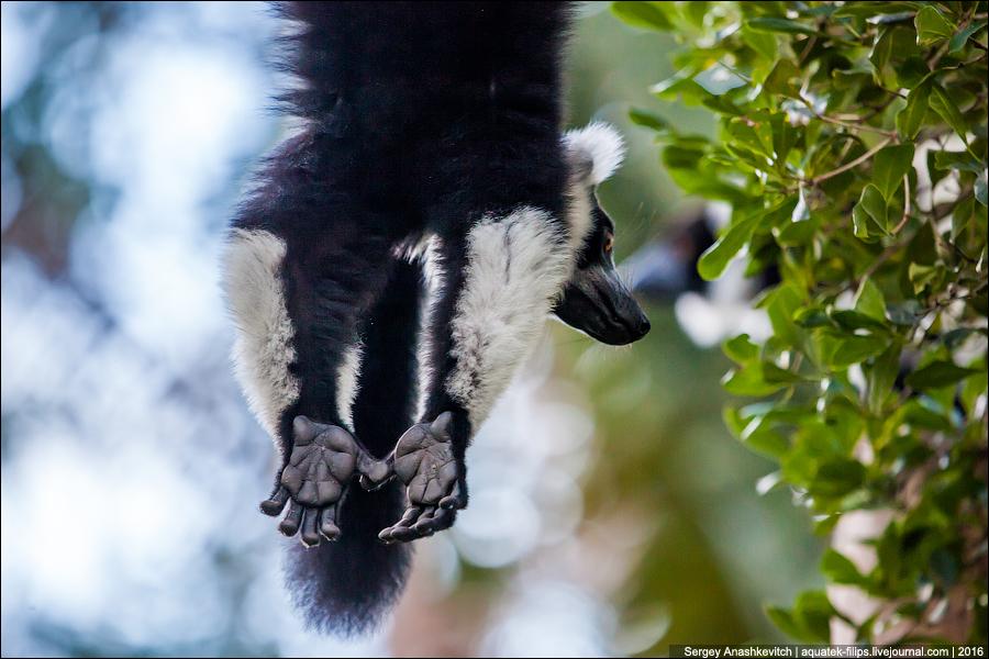 Мадагаскарские лемуры