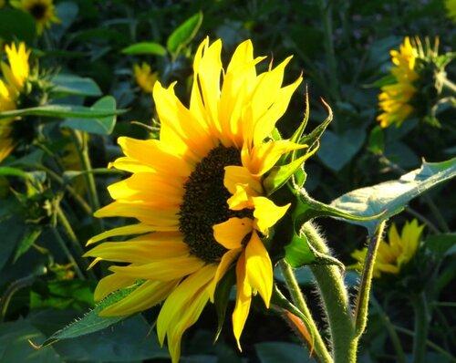 Солнечные лепестки