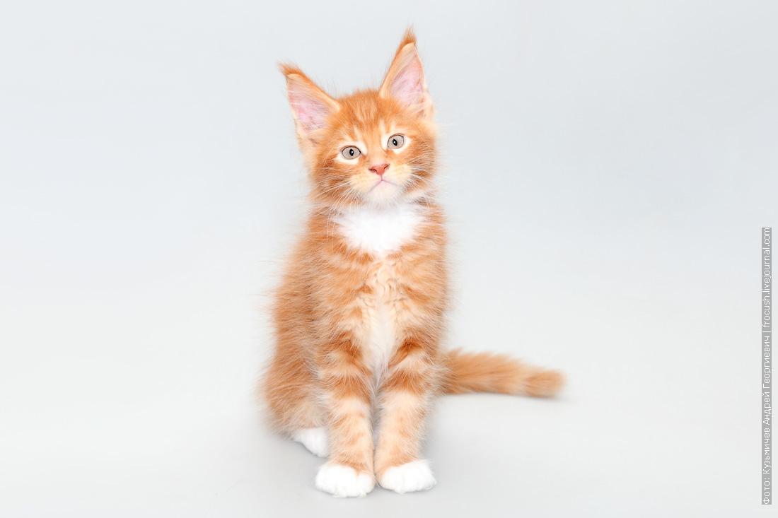 кот мейн-кун питомник в Москве