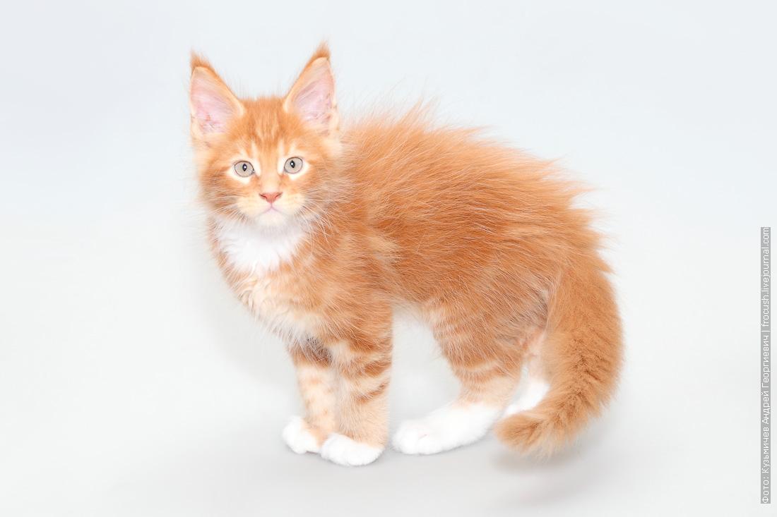 кот мейн-кун продажа питомник в Москве