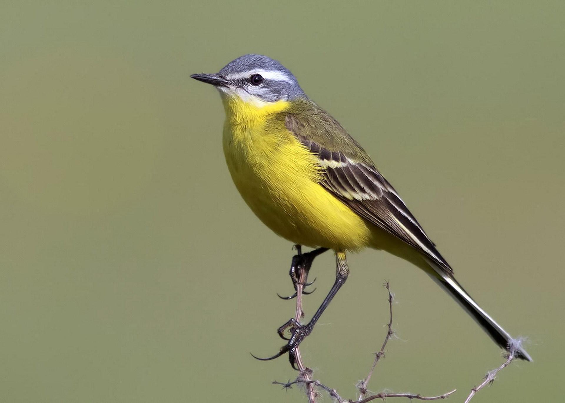 Желтогрудая пташка