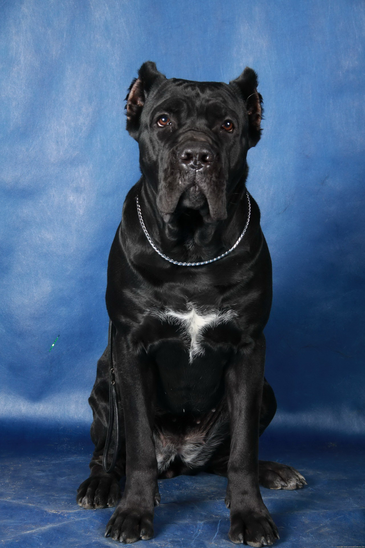 Вірний пес