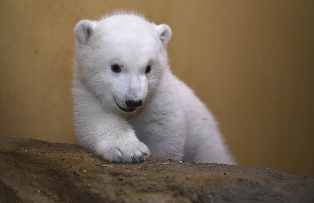 A polar bear cub sits in an enclosure at Bremerhaven's (Bremen's) Zoo by the Sea, Germany
