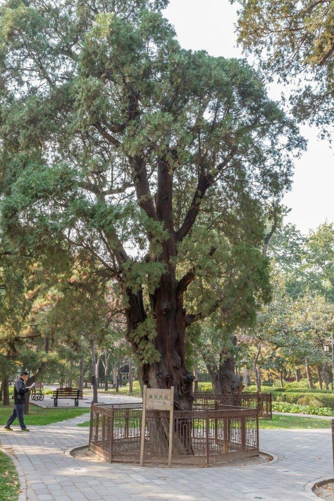 Старый кипарис, парк Житань, Алтарь Солнца, Пекин