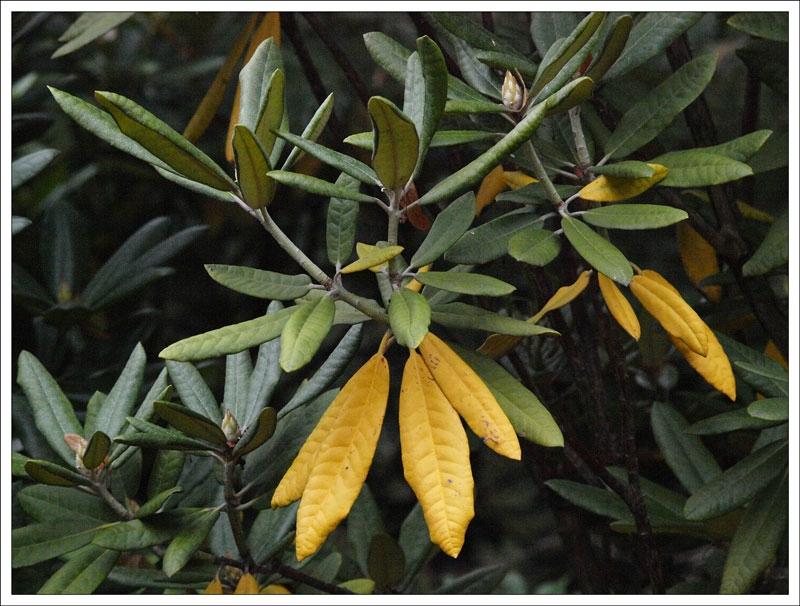114_Rhododendron.jpg