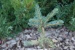 Ель аянская нана (Picea jezoenis nana)