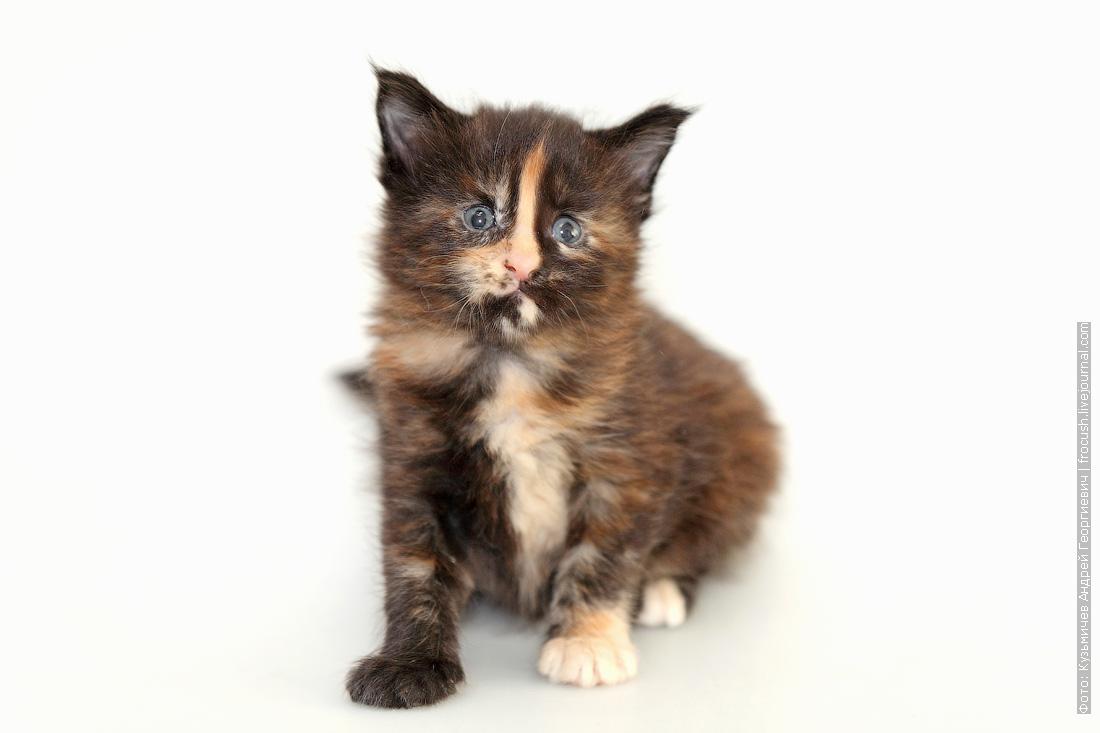 котенок мейн-кун 1 месяц фото