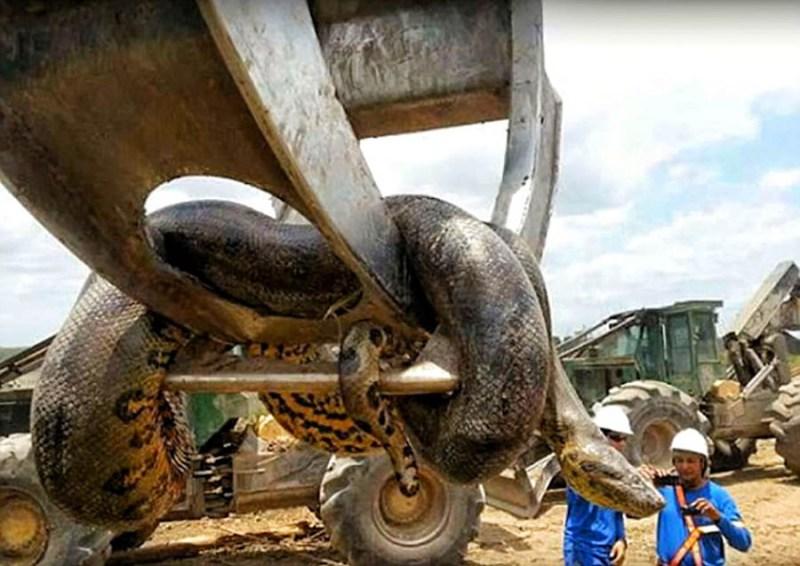 Строители обнаружили огромную анаконду
