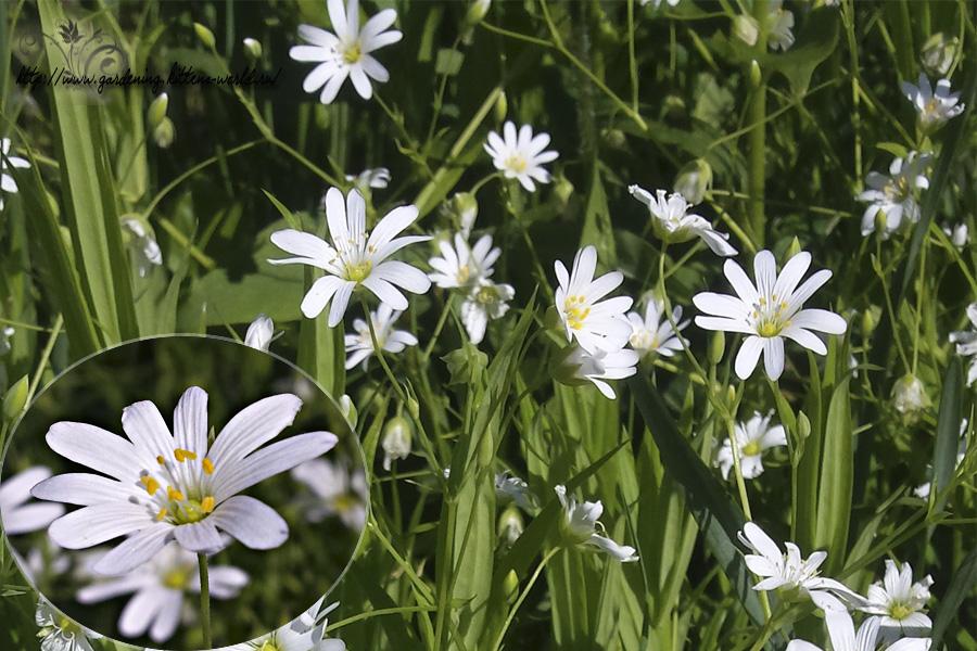 Звездчатка ланцетовидная - изящный сорняк для цветника