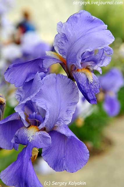 11 Iris barbata elatior Blue Shapire (7).JPG